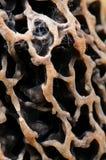 羊肚菌的头细节  库存图片