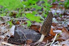 黑羊肚菌蘑菇 免版税库存照片