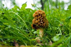 羊肚菌蘑菇 库存图片