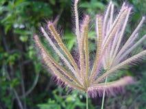 羊胡子草在越南 库存图片