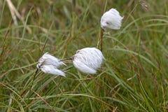 羊胡子草, cottongrass,在北寒带草原 免版税库存照片