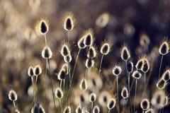 羊胡子草(羊胡子草)开花的沿海植物 免版税图库摄影