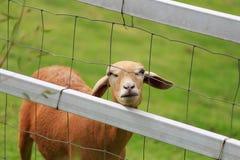 绵羊草料在晴朗的夏天牧场地 免版税图库摄影