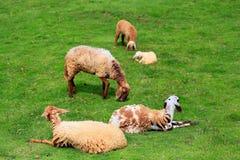 绵羊草料在晴朗的夏天牧场地 图库摄影