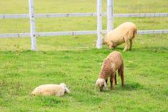 绵羊草料在晴朗的夏天牧场地 库存照片