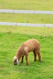 绵羊草料在晴朗的夏天牧场地 库存图片
