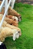 绵羊草料在晴朗的夏天牧场地 免版税库存图片