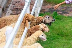 绵羊草料在晴朗的夏天牧场地 免版税库存照片