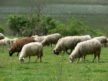 绵羊走 库存照片