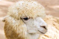 绵羊长的头发的面孔 图库摄影