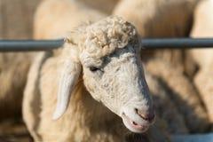 绵羊顶头射击  免版税图库摄影