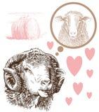 绵羊饲养 图库摄影