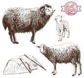 绵羊饲养 库存照片