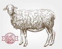 绵羊饲养 免版税库存图片