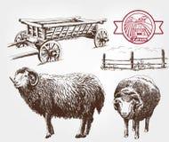 绵羊饲养 免版税库存照片