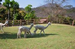 羊魄动物 库存图片