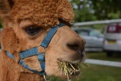 羊魄喇嘛动物吃食物的射击草 免版税库存图片