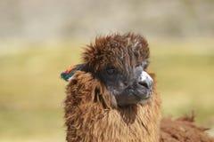 羊魄在Lauca国家公园,智利 库存图片