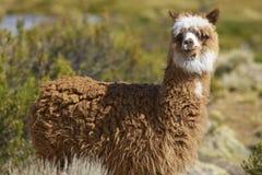 羊魄在Lauca国家公园,智利 免版税图库摄影