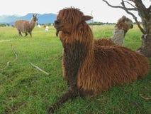 羊魄棕色颜色坐绿色玻璃 库存图片