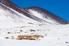 羊魄牧群在一吃草的在阿塔卡马沙漠 免版税库存照片