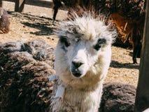 羊魄的特写镜头视图在羊魄农场 库存照片