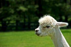 羊魄纵向 免版税库存照片
