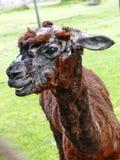 羊魄骆马在布拉索夫动物园里 库存图片