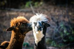 羊魄骆马 两逗人喜爱的毛茸的骆马亲吻 库存图片