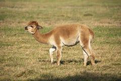 羊魄,骆马类pacos 免版税库存图片
