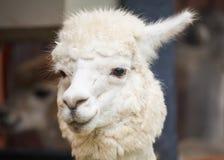 羊魄画象 库存照片