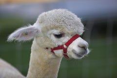 羊魄 免版税库存图片