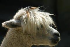 羊魄 库存图片