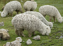 羊魄6 免版税库存照片