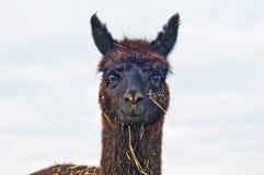 羊魄pacos骆马类 库存图片