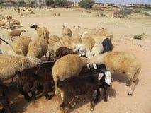 绵羊,摩洛哥牧群  免版税库存图片