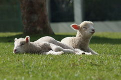 绵羊,新西兰 库存图片
