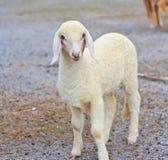 绵羊婴孩画象 库存图片