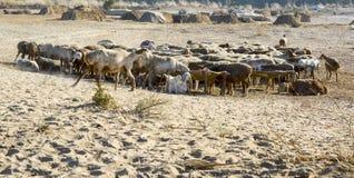 绵羊&山羊牧群在沙漠 免版税图库摄影