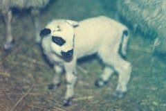绵羊围拢的一只小的羊羔 库存图片