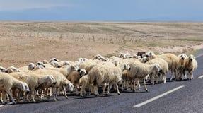 绵羊去柏油路 库存图片