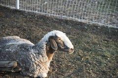 绵羊 绵羊本质上 图库摄影