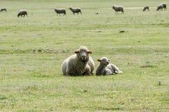 绵羊以羊羔休息 免版税库存图片