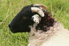 绵羊头在外形的 免版税库存照片