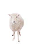 绵羊画象在圣诞节帽子的在白色 免版税库存照片