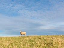 绵羊画象在草的 库存图片