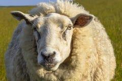 绵羊画象 免版税图库摄影