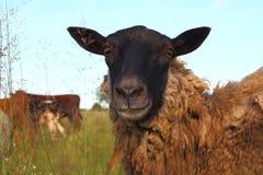 绵羊 免版税库存图片