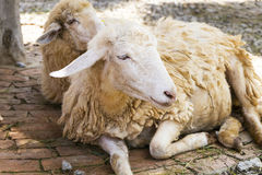 绵羊 图库摄影