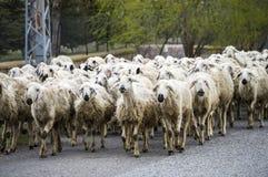 绵羊` s,通过数十只的绵羊,返回的绵羊在家,绵羊` s胳膊 免版税库存照片